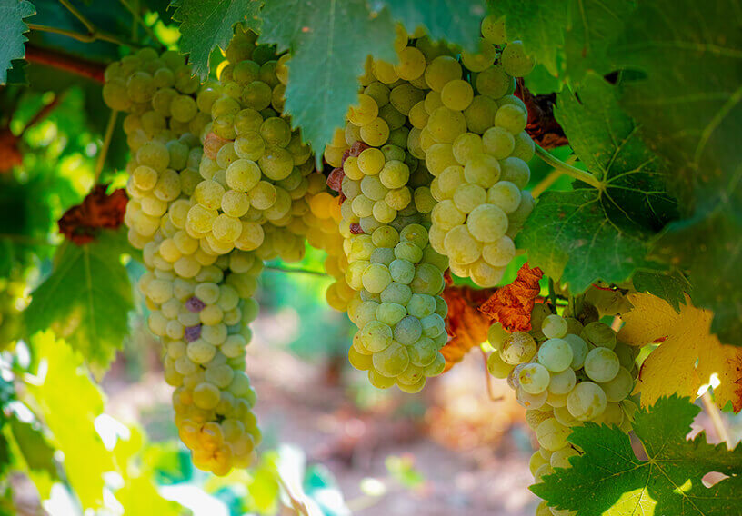 Bunches of grapes hanging from grapevine